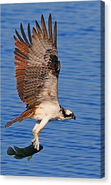Osprey With A Fish Canvas Print