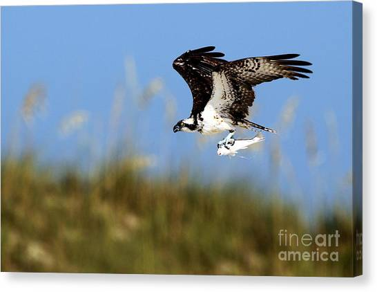 Osprey With Fish Canvas Print by Rick Mann