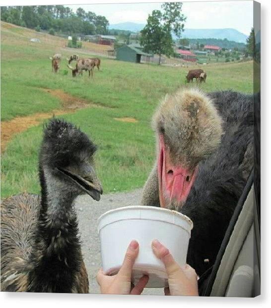 Ostriches Canvas Print - Ostrich Feeding Time #food #ostrich by Kegan Piper