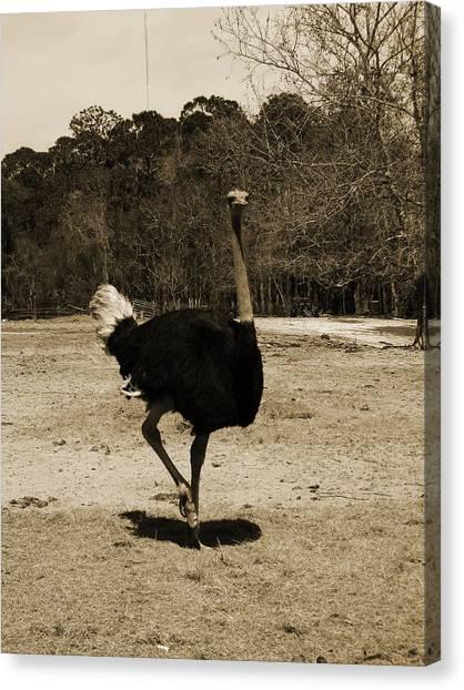 Ostrich Canvas Print by Pamela Stanford