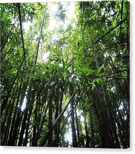 Bamboo Canvas Print - Our Hike Up Manoa Falls. Bamboo! by B D