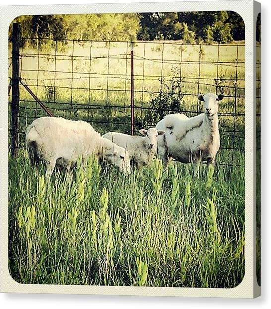 Kansas Canvas Print - Our New Sheep!! Ever Since I Was A by Emma Holton