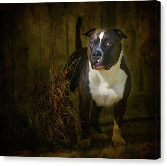 Pit Bull Canvas Print - Out Of The Shadows by Larry Marshall