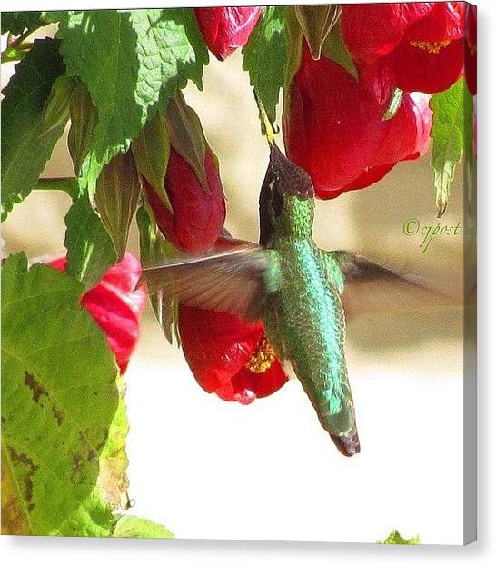 Hummingbirds Canvas Print - Out To Lunch. #hummingbird by Cynthia Post