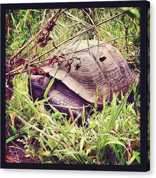 Tortoises Canvas Print - #outdoors #desert #tortoise #turtle #pet by Tyler Rice