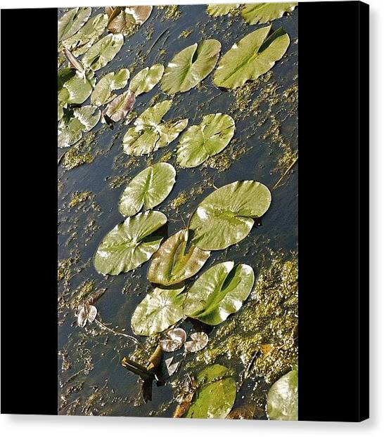 Kings Canvas Print - #outdoors #nature #instanature #lilypad by Cai King-Young