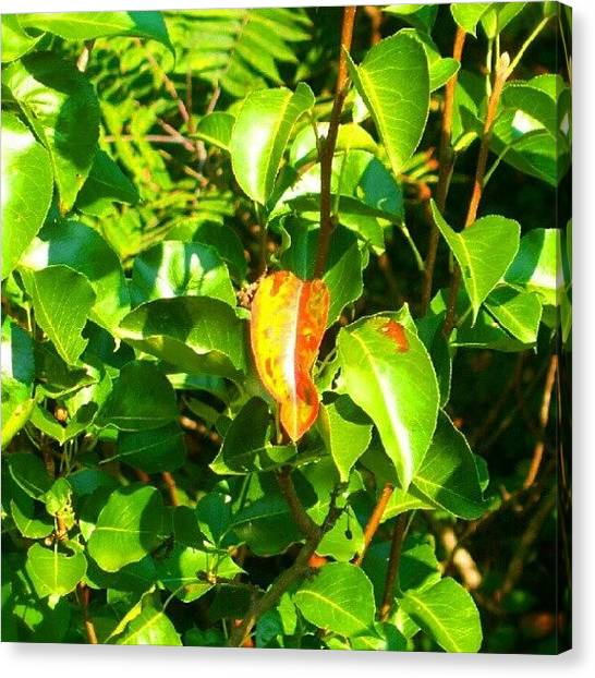 Pears Canvas Print - #outdoors #naturelovers #nature #green by Tracey E