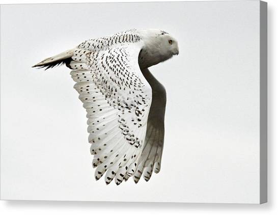 Owl In Flight Canvas Print by Pierre Leclerc Photography