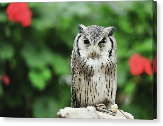 Owl With Blurred Background Canvas Print by Copyrights(c) All rights reserved by Haruhisa Yamaguchi