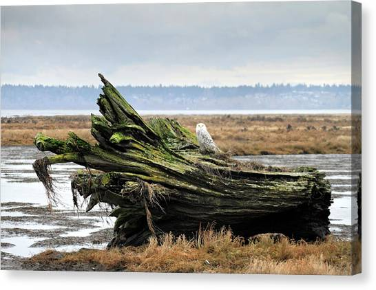 Owls At Boundary Bay Vancouver Canvas Print by Pierre Leclerc Photography