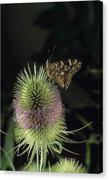 Painted Lady Butterfly Canvas Print by David Aubrey