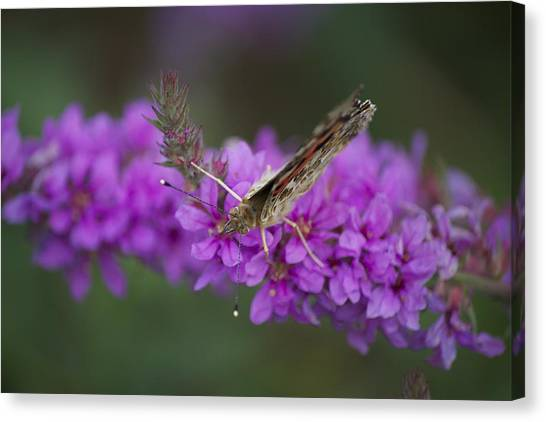 Painted Lady Looking Canvas Print