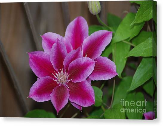 Pair Of Pink Clematis Canvas Print
