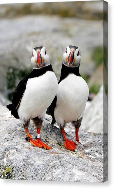 Puffins Canvas Print - Pair Of Puffins by Betty Wiley