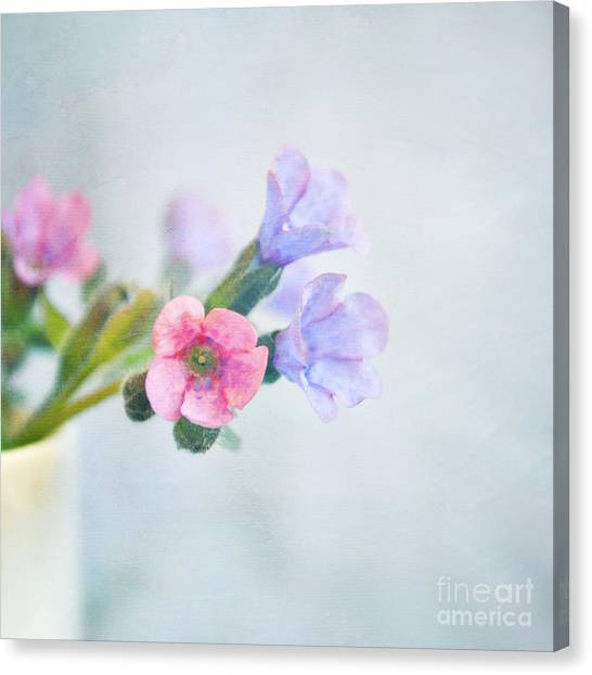Pale Pink And Purple Pulmonaria Flowers Canvas Print