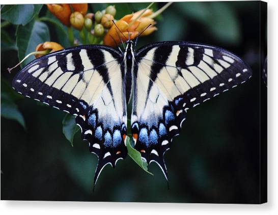 Pale Swallowtail Butterfly-3 Canvas Print by Barry Jones