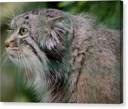 Pallas Cat Canvas Print by Karen Grist