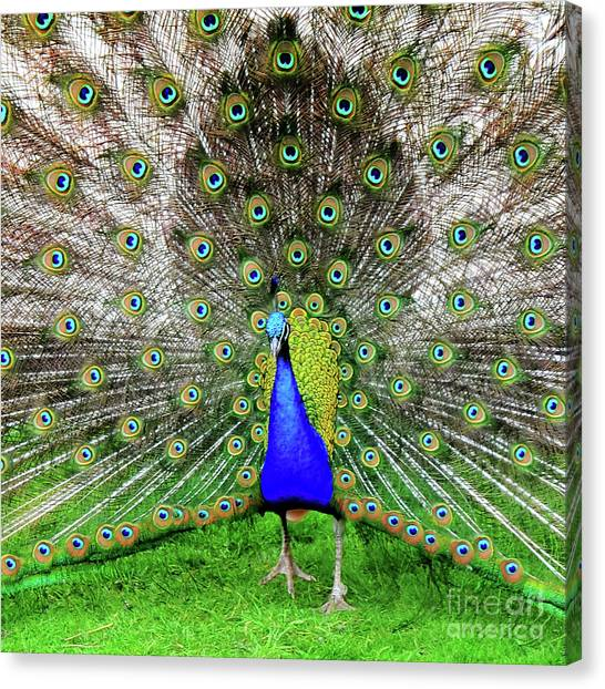 Park Rose Peacock Canvas Print