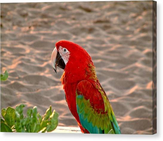 Parrot In Maui Canvas Print
