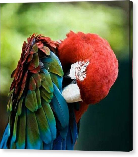 Parrots Canvas Print - #parrots #animals #birds #instagrammers by Kelly Love