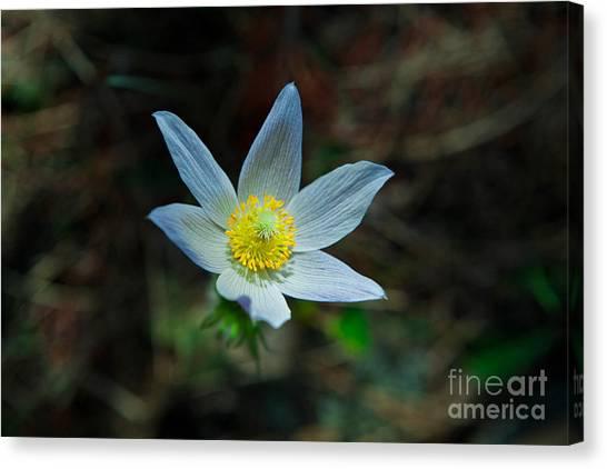 Pasqueflower At Dusk Canvas Print