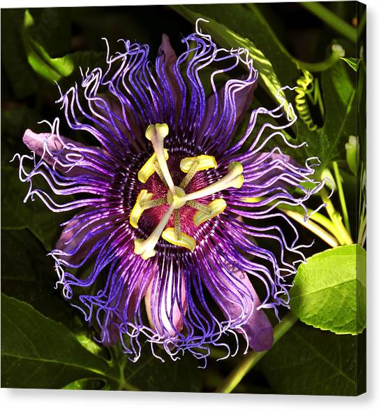 Passionflower Canvas Print - Passionflower by David Lee Thompson