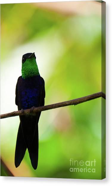 Patient Hummingbird Canvas Print