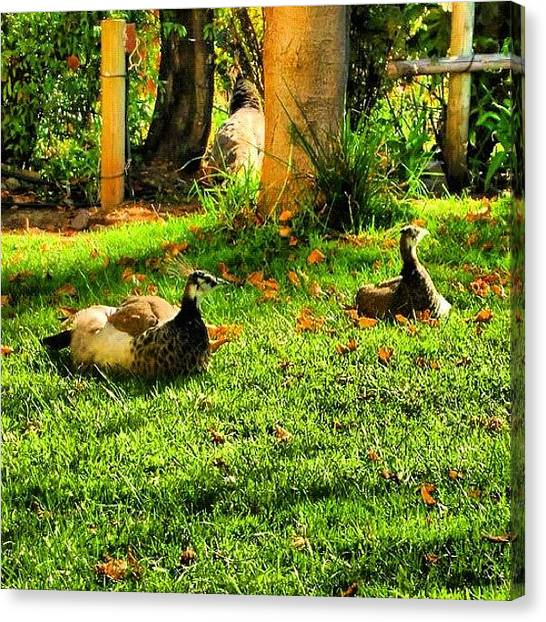 Indian Canvas Print - #pavos #reales En El #jardín, #otoño by José Manosalva