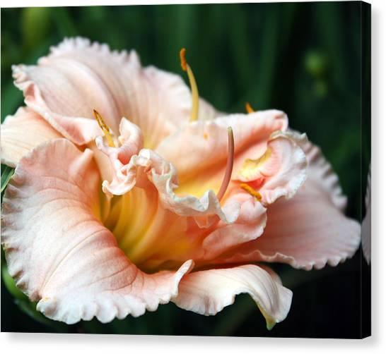 Peach Magnolia Love Affair  Canvas Print