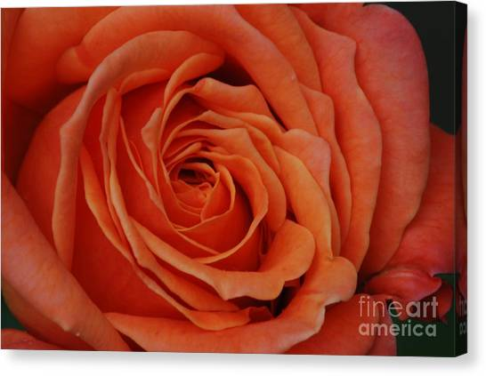 Peach Rose Close-up Canvas Print