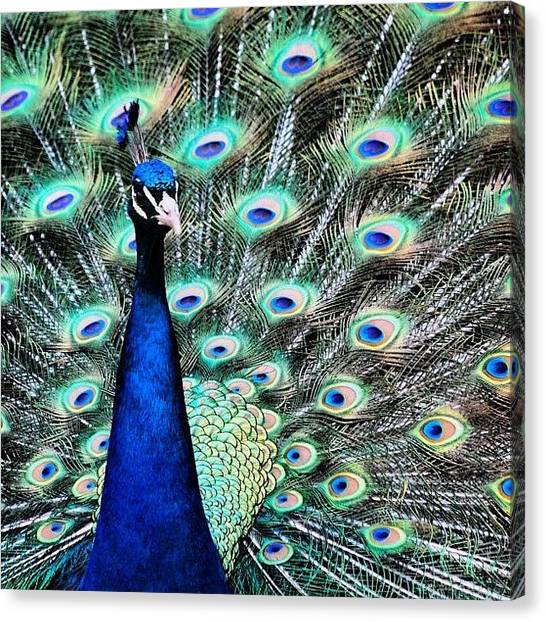 Peacocks Canvas Print - Peacock In Kingwood Center, Mansfield by Robert Bogan