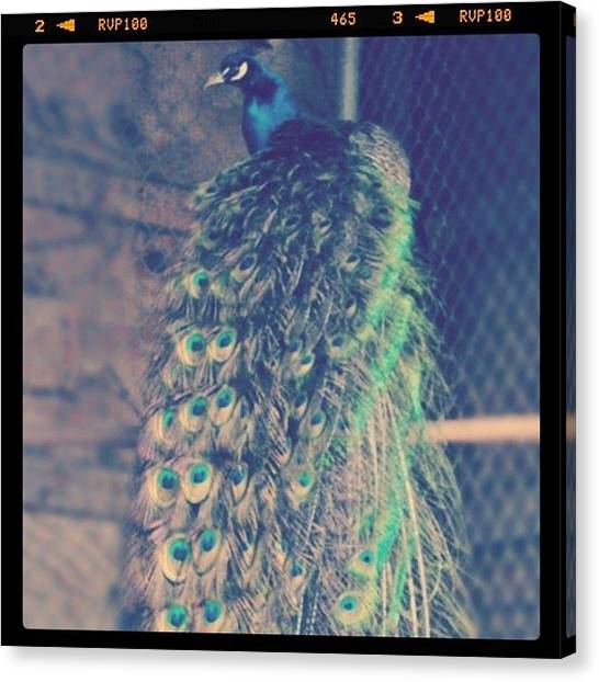 Peacocks Canvas Print - #peacock by Vicki Leggett