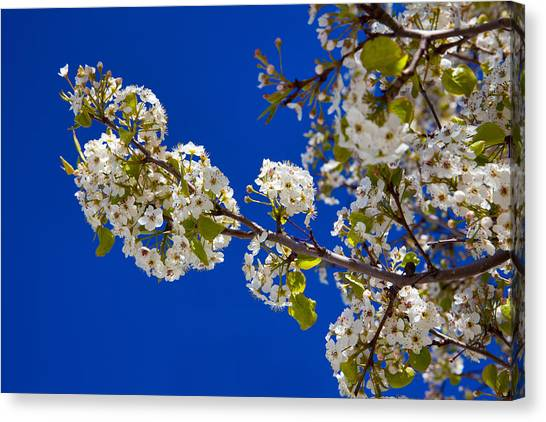 Spring Trees Canvas Print - Pear Spring by Chad Dutson
