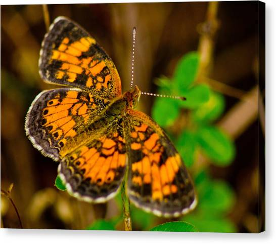 Pearl Cresent Butterfly 2 Canvas Print by Barry Jones