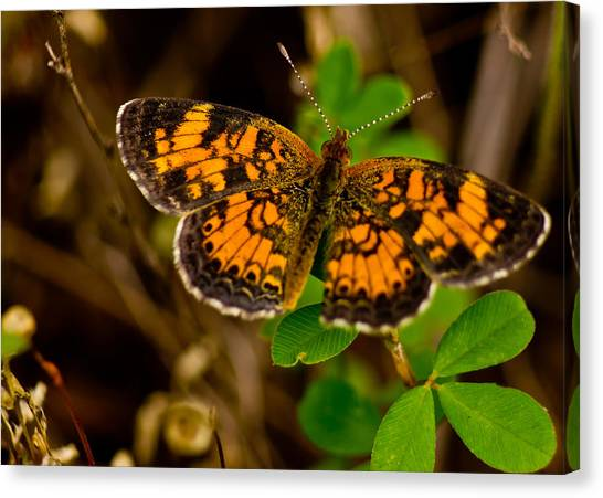 Pearl Cresent Butterfly Canvas Print by Barry Jones