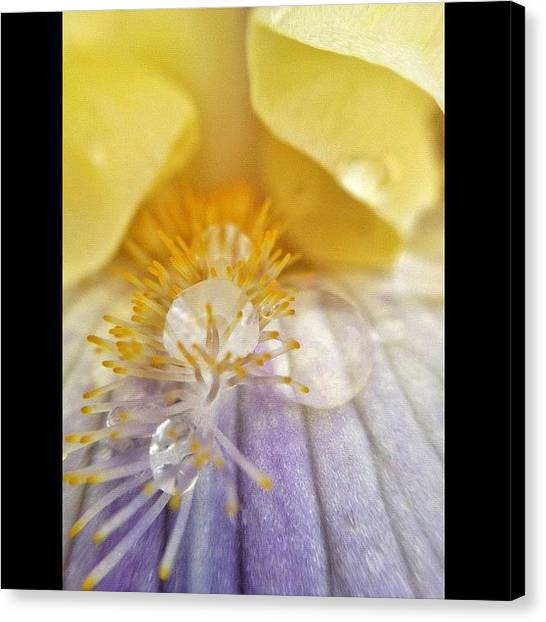 Irises Canvas Print - Pearls by Misty D