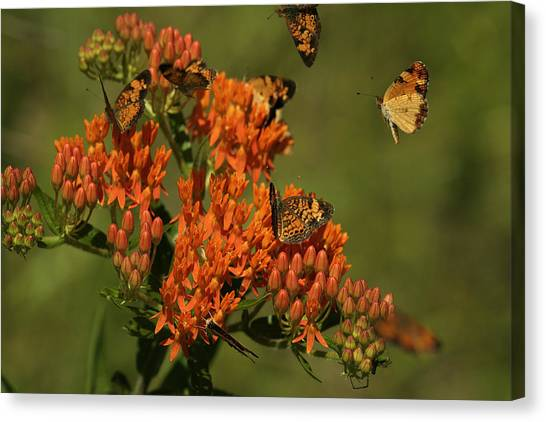 Pearly Crescentpot Butterflies Landing On Butterfly Milkweed Canvas Print
