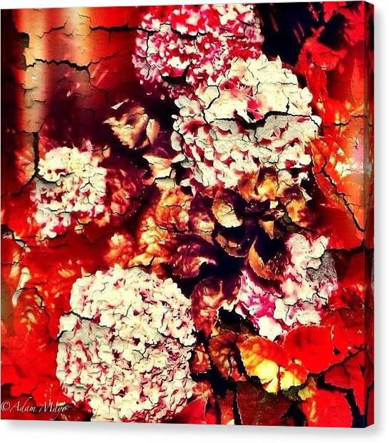 Iphone 4 Canvas Print - Peeling Hydrangeas - Ravine Gardens by Photography By Boopero