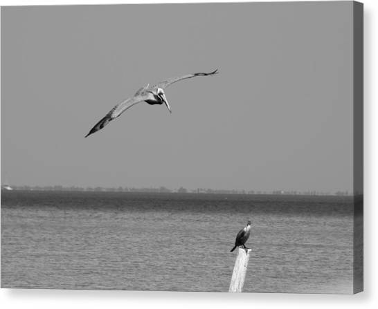 Pelican Attack Canvas Print by Herman Boodoo