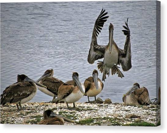 Pelican Meeting Canvas Print