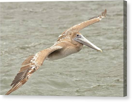 Pelican On The Water Canvas Print