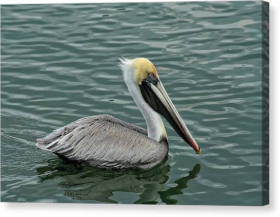 Pelican Out For A Swim Canvas Print