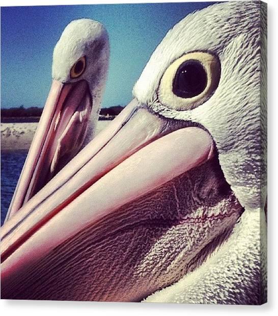 Water Birds Canvas Print - Pelicans by Darren Frankish