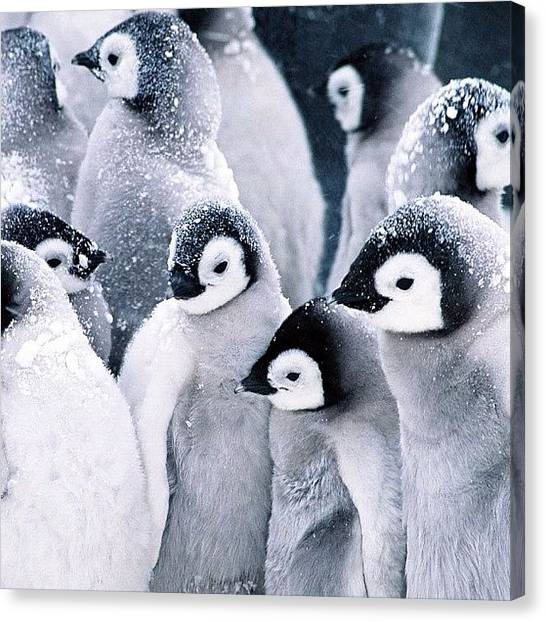Penguins Canvas Print - #penguins #snow #black #cute #north by Alexis V
