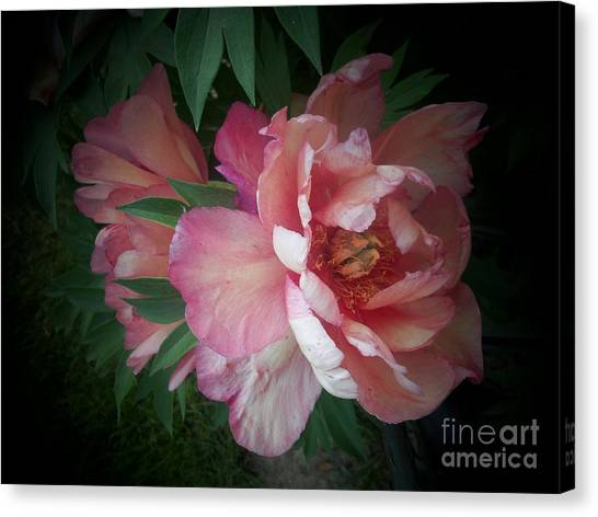 Peonies No. 8 Canvas Print