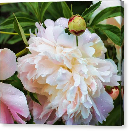 Peony And Her Bud Canvas Print
