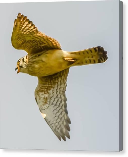 Peregrine Falcon Canvas Print by Brian Stevens