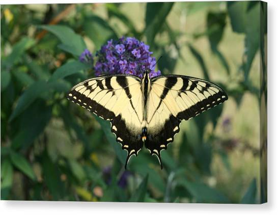 Perfectly Aligned Butterfly On Butterfly Bush Canvas Print by Bonnie Boden