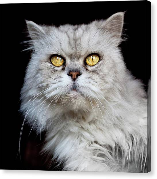 Venezuelan Canvas Print - Persian Gray Cat by Rogdy Espinoza Photography