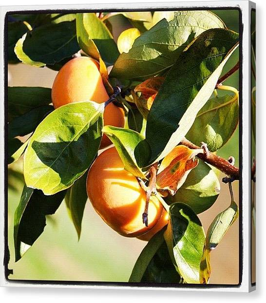 Harvest Canvas Print - #persimmon #earlybird #photo #instagram by Joseph Codispoti
